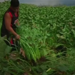 Invasive Plants could Fuel Kitchens in the Philippines as an Eco Friendly Alternative